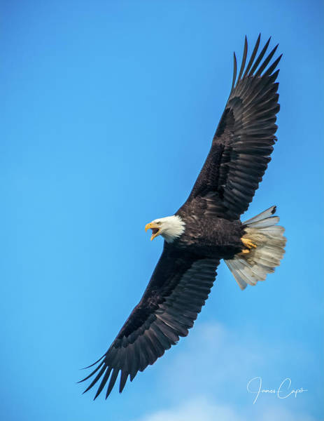 Photograph - Screaming Eagle by James Capo