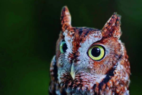 Photograph - Screech Owl Face by Meta Gatschenberger