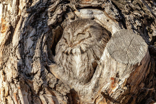Photograph - Screech Owl In The Morning Sun by Tony Hake