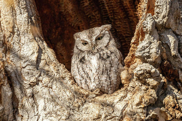 Photograph - Screech Owl Keeps Watch by Tony Hake