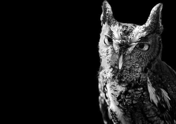 Screech Owl Photograph - Screech Owl by Malcolm Macgregor