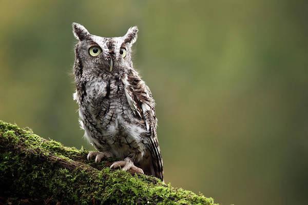 Screech Owl Photograph - Screech Owl by Mlorenzphotography