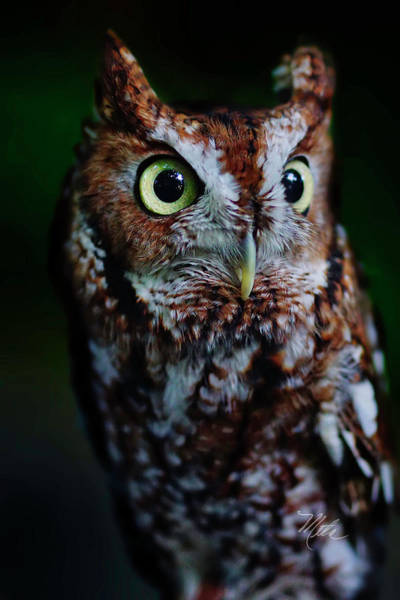 Photograph - Screech Owl Vertical by Meta Gatschenberger