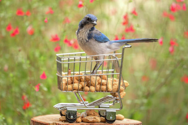 Wall Art - Photograph - Scrub Jay Ala Carte by Angie Vogel