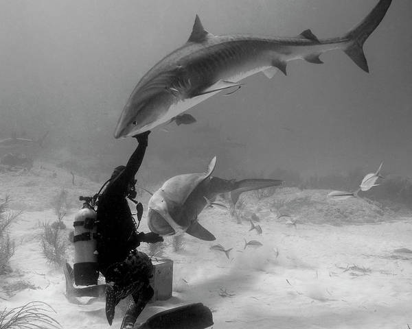 Wall Art - Photograph - Scuba Diver Interacting With Two Tiger by Brent Barnes