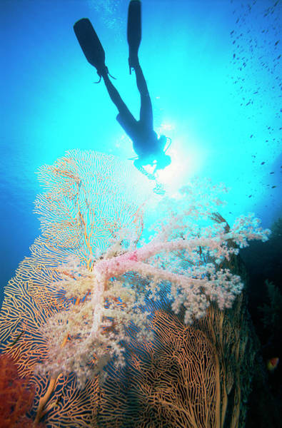 Underwater Diving Photograph - Scuba Diver Underwater By Fan Coral by Frederic Pacorel