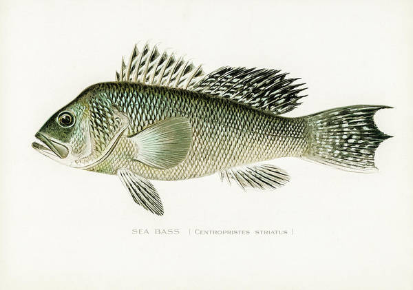 Drawing - Sea Bass by David Letts