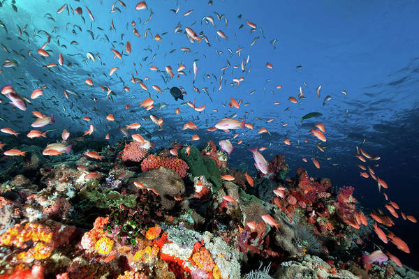 Underwater Photograph - Sea Goldies , Underwater Mountain Batu by Ifish