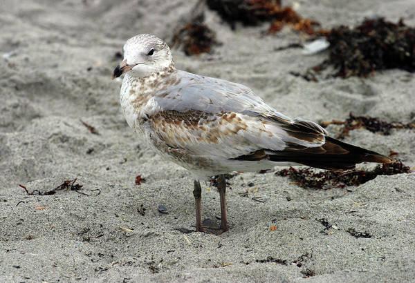 Photograph - Sea Gull by Anthony Jones