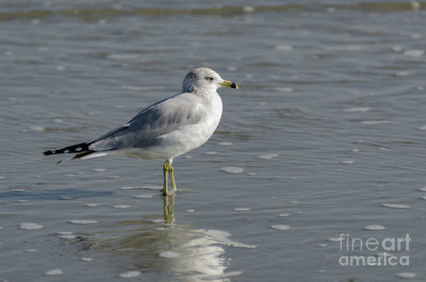 Photograph - Sea Gull - Atlantic Ocean by Dale Powell