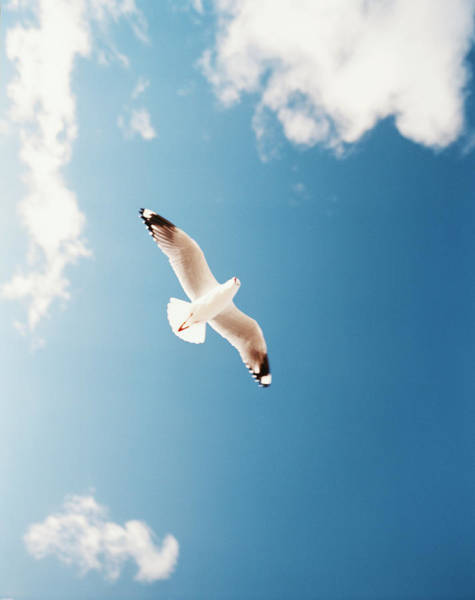 Wing Back Photograph - Sea Gull Laridae In Flight, Low Angle by Blasius Erlinger