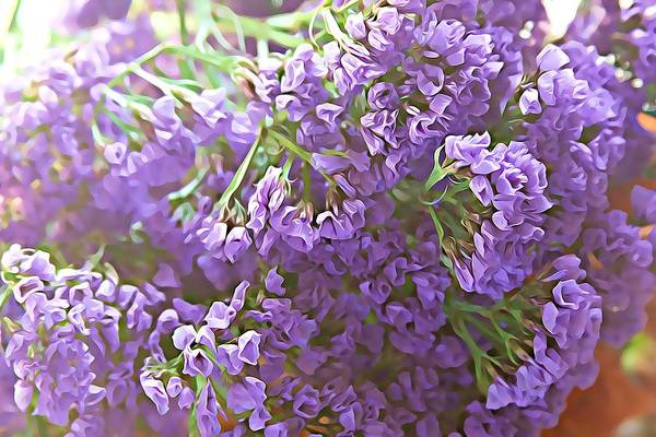 Plumbaginaceae Photograph - Sea Lavenders 2 by Cathy Lindsey