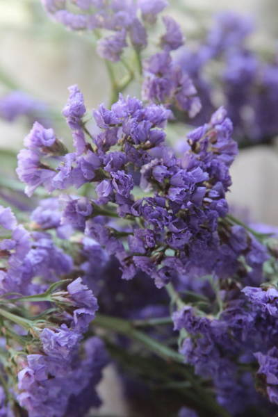Plumbaginaceae Photograph - Sea Lavenders 4 by Cathy Lindsey