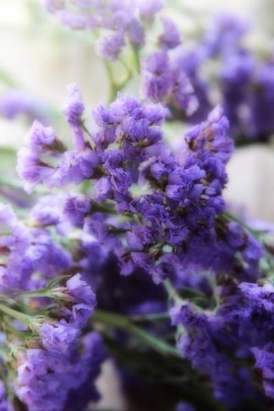 Plumbaginaceae Photograph - Sea Lavenders 5 by Cathy Lindsey