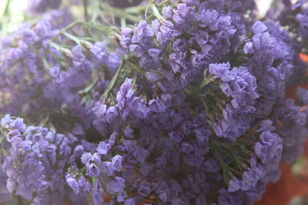 Plumbaginaceae Photograph - Sea Lavenders by Cathy Lindsey