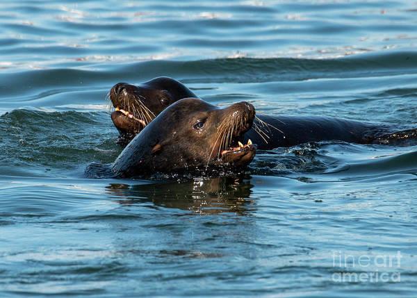 Wall Art - Photograph - Sea Lion Pair by Mike Dawson