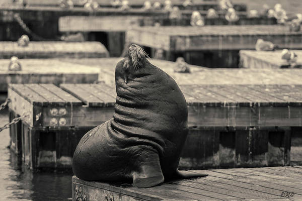 Photograph - Sea Lion Vi Toned by David Gordon