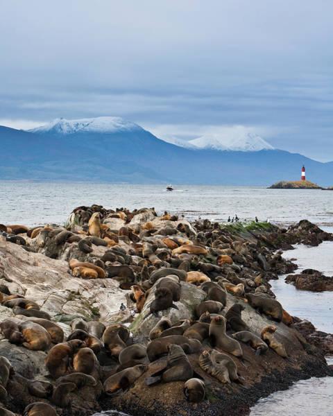 Mountain Lion Photograph - Sea Lions And Light House, Beagle by Ashok Sinha
