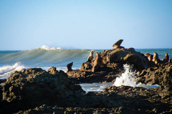 Photograph - Sea Lions At Little Black Sands Beach - Shelter Cove  by Bill Cannon