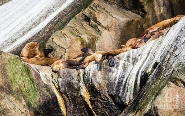 Photograph - Sea Lions Laying On The Rocks. by Lyl Dil Creations