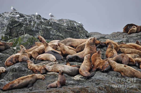 Frontier Photograph - Sea Lions Near The Inian Islands In by Rocky Grimes