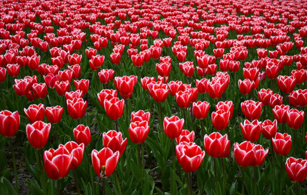 Keukenhof Wall Art - Photograph - Sea Of Tulips by Copyright © Sunil Chaturvedi. All Rights Reserved.