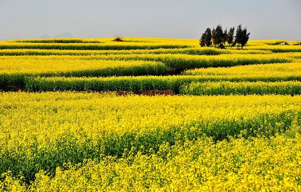 Photograph - Sea Of Yellow Rapeseed Flowers by Melindachan
