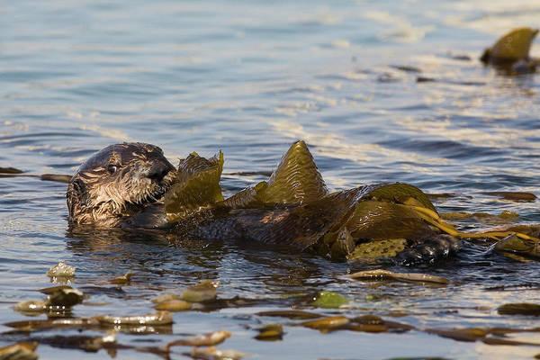 Kelp Photograph - Sea Otter Enhydra Lutris Pup In Kelp by Michael Mike L. Baird Flickr.bairdphotos.com
