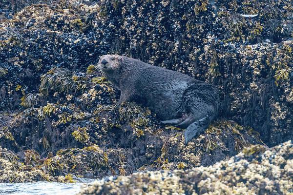 Photograph - Sea Otter On Rocks In Kodiak Harbor by Mark Hunter