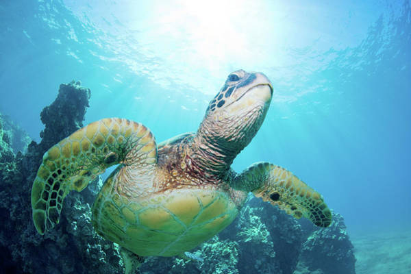 Underwater Photograph - Sea Turtle And Coral Reef by M Swiet Productions