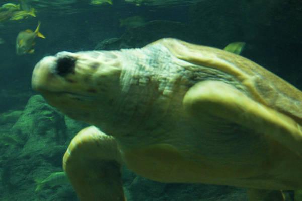 Wall Art - Photograph - Sea Turtle by Art Spectrum
