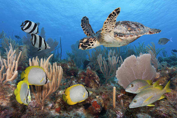 Hawksbill Turtle Photograph - Sea Turtle, Fish, On Colorful Tropical by Jeff Hunter