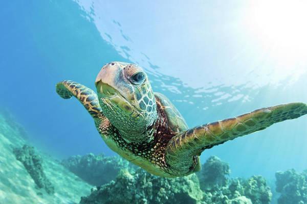 Underwater Photograph - Sea Turtle, Hawaii by M.m. Sweet
