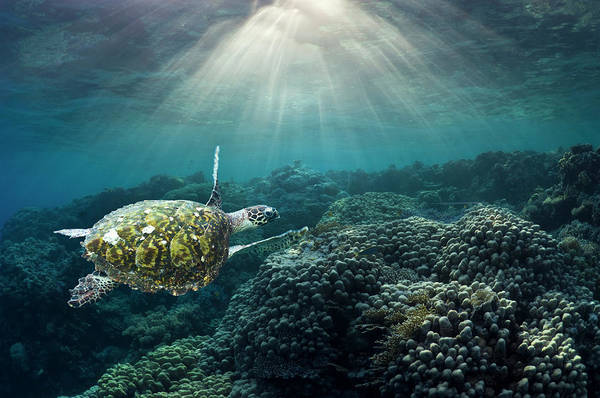 Hawksbill Turtle Photograph - Sea Turtle Over Corals by Georgette Douwma