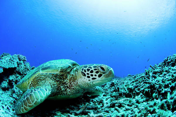 Underwater Photograph - Sea Turtle Resting Underwater by Yusuke Okada/a.collectionrf