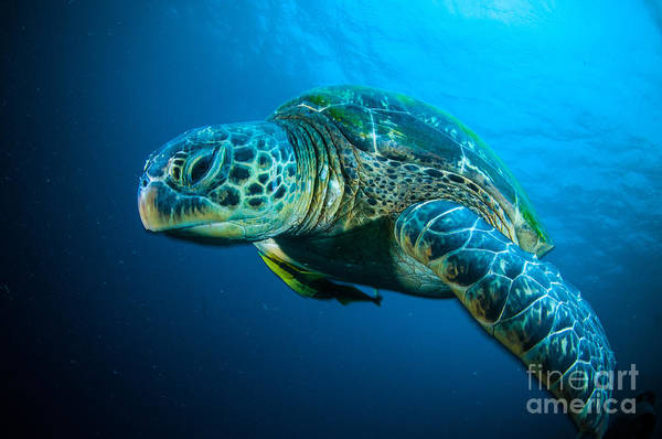 Wall Art - Photograph - Sea Turtle Swimming Bunaken Sulawesi by Fenkieandreas