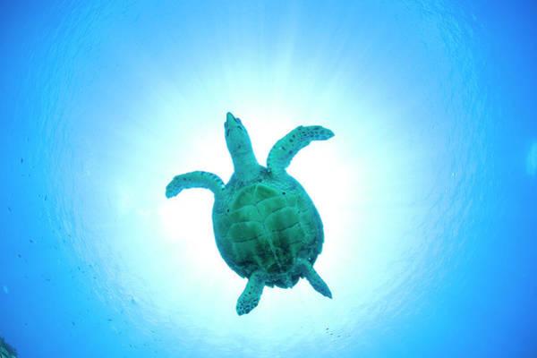 Underwater Photograph - Sea Turtle Swimming Underwater by Yusuke Okada/amanaimagesrf