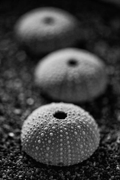 Photograph - Sea Urchins by John Rodrigues