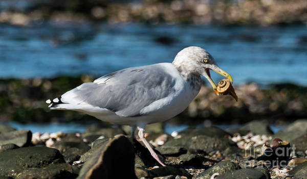 Photograph - Seagull Carrying Snail by Michael D Miller