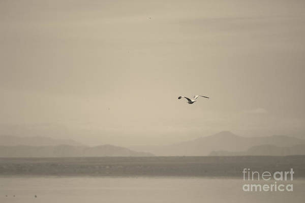 Photograph - Seagull Flying Over The Salton Sea In Sepia by Colleen Cornelius