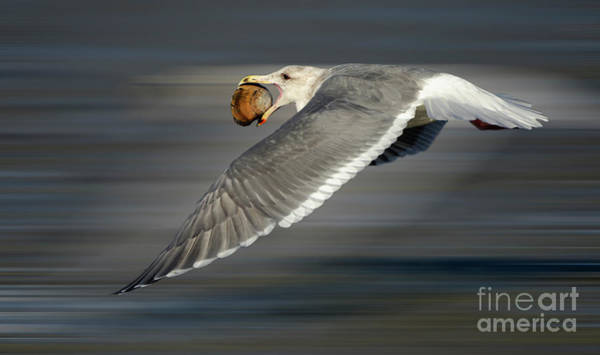Wall Art - Photograph - Seagull In Flight by Bob Christopher