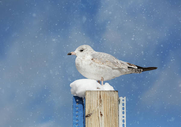 Photograph - Seagull In The Snow by Kim Hojnacki