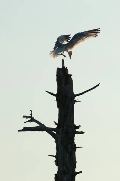 Seagull Landing On Tree, Lake Of The Art Print