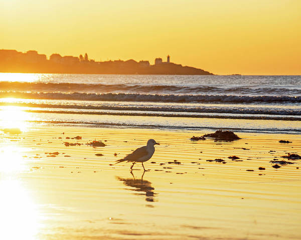 Photograph - Seagull Strolling Long Sands Beach York Maine Sunrise Nubble Lighthouse Cape Neddick by Toby McGuire