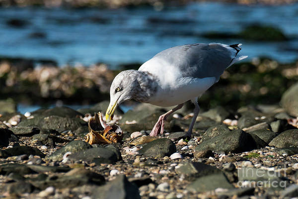 Photograph - Seagull With Snail by Michael D Miller