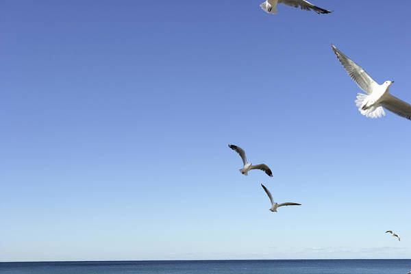 Manly Wall Art - Photograph - Seagulls Flying Over Beach by Paul Taylor