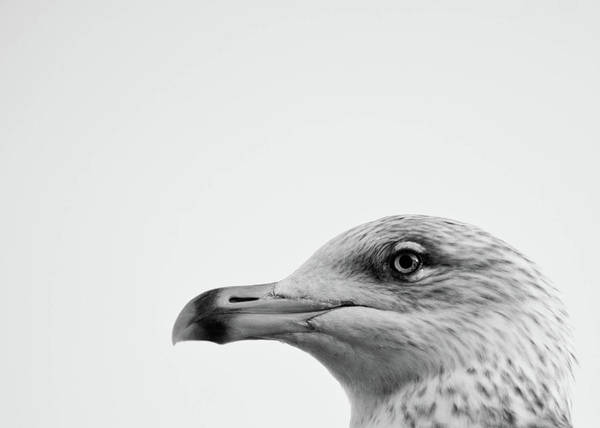 Animal Head Photograph - Seagulls Head by Photography By Stuart Mackenzie (disco~stu)