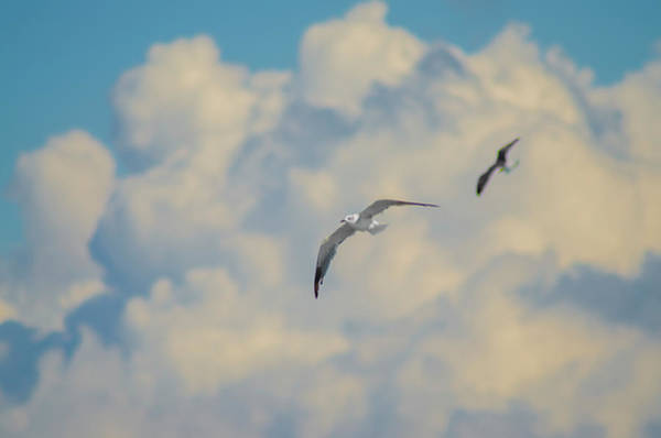 Wall Art - Photograph - Seagulls In The Sky by Bill Cannon