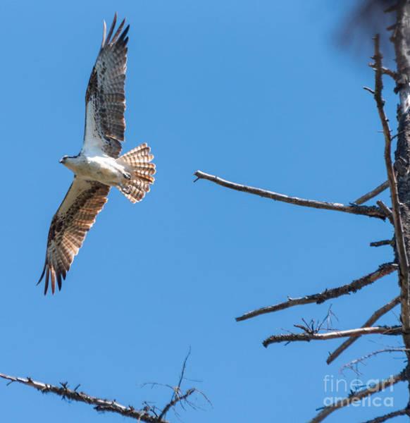 Photograph - Seahawk Takes Flight by Matthew Nelson