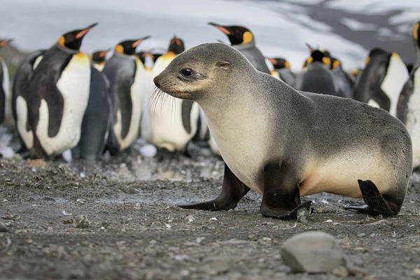 Seal Pup With King Penguins On Beach Art Print by Tom Norring